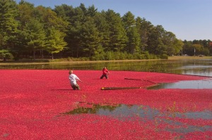 Cranberry Harvesy